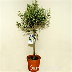 Opstammet oliventræ køb
