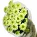 Chrysanthemum Grøn