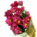 Chrysanthemum Lilla
